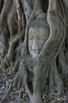 Buddha head overgrown by fig tree in Wat Mahatat, Ayutthaya historical park  {Photographer Kelly Knights}