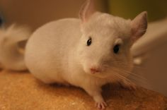 introducing my chin baby, Mozzee..isn't she adorable? Chinchilla is the cutest pet ever!