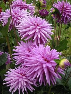 Purple dahlias  // Great Gardens & Ideas //