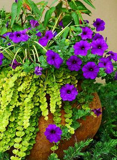 Part shade: Bonfire begonia (not blooming yet), violet petunia, creeping jenny. You could substitute dragonwing begonia.