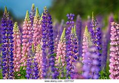 Lupins growing wild in rural Prince Edward Island, Canada. - Stock Image
