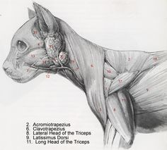 Cat muscles dissection | anatomy corner, The muscles of the cat are similar to the muscles on a human. Description from anatomylist.com. I searched for this on bing.com/images