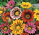 Robertas 9-pc. Brilliant Color Bursting Gazania Collection — QVC.com