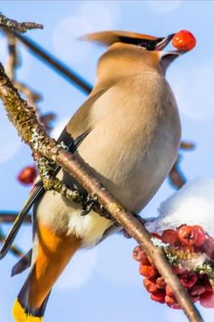 The Wonderful World of Waxwings Learn All About Bohemian and Cedar Waxwings! Small Birds, Colorful Birds, Pet Birds, Angry Birds, Beautiful Birds, Animals Beautiful, Beautiful Pictures, Animals And Pets, Cute Animals