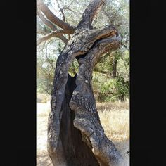 Hollow Oak tree