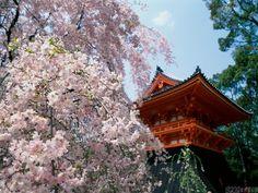 Cherry blossoms, Ninnaji Temple Kyoto Japan Pamplona, Cherry Blossom Japan, Cherry Blossom Season, Cherry Blossoms, Nagoya, Yokohama, Beautiful World, Beautiful Places, Amazing Places
