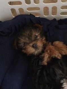 Adorable Yorkshire Puppy, Yorkshire Terrier, Yorkie
