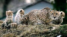 Quedan tan solo 7.100 guepardos en todo el mundo y la cifra tiende a disminuir dramáticamente en los próximos años si no se actúa desde ya.