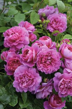 David Austin Rose - Princess #Colorful Roses