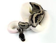 """Slithering from Light to Dark and Light again, with no allegiance, and little guilt. """" Correction - This is an axanthic piebald ball python. Pretty Snakes, Cool Snakes, Beautiful Snakes, Cute Reptiles, Reptiles And Amphibians, Beautiful Creatures, Animals Beautiful, Cute Animals, Spiders And Snakes"""