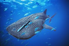 Whale Shark, Brian Skerry