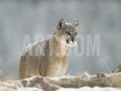 Mountain Lion or Cougar (Felis Concolor) Standing in Snow Bank, Montana Photographic Print by Tim Fitzharris/Minden Pictures at Art.com
