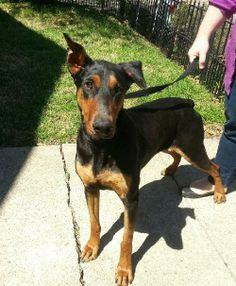 Meet Olive-Urgent Foster Needed by 5/10 a Petfinder adoptable Doberman Pinscher Dog | Minneapolis, MN | You can fill out an adoption application online on our official website.�¢?? Olive is a 2 year...