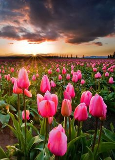 Looking for a weekend activity? May we suggest the Skagit Valley Tulip Festival? | Image courtesy of Redditor annievsilver
