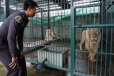 Man arrested with 14 rare white lions - Yahoo! News