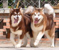 DadiJonny - Alaskan Malamute - Dog Breed - China - Honghai and Red Tiger