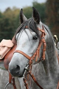 Yet another long, German name for a horse: the Altwurttemberg is one of the littler known breeds. It's considered extremely endangered & is a rare sight outside (even inside of) Germany.