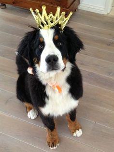 King berner sennen, bernese mountaindog