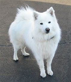 The American Eskimo is an affectionate, loving dog. Hardy and playful, they are excellent with children. Charming and alert. Because of the dog's high intelligence and their willingness to please, they are easy to train and often rank among the top scorers in obedience trials.