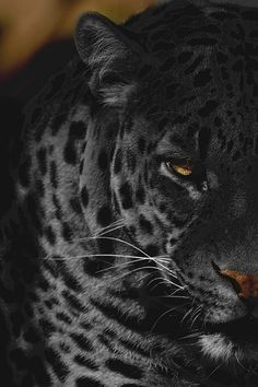 Realistic black panther tattoo designs for males black jaguar car, black jaguar animal, leopard Majestic Animals, Rare Animals, Cute Baby Animals, Animals And Pets, Wild Animals, Black Panther Tattoo, Panther Tattoos, Jaguar Noir, Jaguar Xj