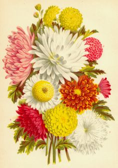 carnations, dahlias and other blossoms : Genevieve's birth month flower is the daisy, mine is the carnation and Nicholas's is the aster. I'm thinking I need a garden tattoo Vintage Flower Prints, Vintage Botanical Prints, Vintage Flowers, Vintage Green, Illustration Blume, Nature Illustration, Botanical Flowers, Botanical Art, Art Floral