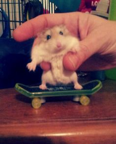Fluffles on a skateboard. Gosh he's so cute Robo Dwarf Hamsters, Robo Hamster, Barcelona Soccer, Fc Barcelona, Nike Soccer, Soccer Cleats, Mia Hamm, Cristiano Ronaldo Lionel Messi, Soccer Girl Problems