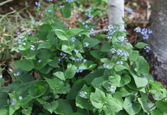 Brunnera3  also known as false forget me nots.