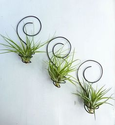 Most Amazing Air Plant Display Ideas Air Plant Wall Plant Wall 24