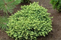 Picea Abies Little Gem Related Keywords & Suggestions - Picea ...