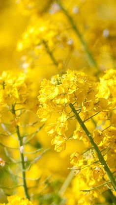 Nature Spring Yellow Cole Flowers Branch Macro #iPhone #5s #wallpaper