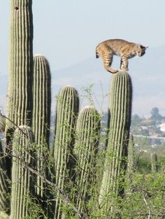 From the backyard - awesome pic of bobcat walking on top of staircase saguaros! http://www.tucsoninsurance.com
