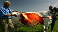 Great video about ruminants.  Learn more about a cow's digestive system in this video segment from Nature.