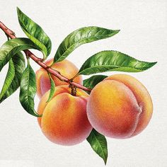 Watercolor Fruit, Fruit Painting, China Painting, Watercolor Flowers, Watercolor Paintings, Colorful Drawings, Art Drawings, Fruit Sketch, Fruits Drawing