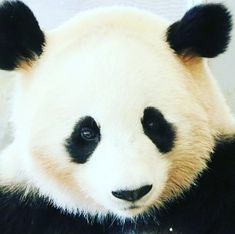 Do You love pandas ? So You are at the right Place Follow us for daily Panda Posts DoubleTap & Tag a freind below . . . . . #panda #панда #팬더 #熊貓#熊猫#pandas #pandabear #pandalove #pandalife #giantpanda #instapanda #Cute_animal #lovepanda #หมแพนดา #Panda_of_insta_ #instagood #animals #лайк #animal #Cat #follow4followback #животные #видео #animal #followforfollow #follow4follow #follow_me