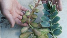 How to propagate succulents:- Succulents are the ultimate in low-maintenance, waterwise gardening and look simply amazing. Propegating Succulents, Propogate Succulents, Types Of Succulents, Growing Succulents, Air Plants, Garden Plants, Indoor Plants, Dream Garden, Garden Bed