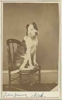 c.1871-1875 cdv of brindle pit bull sitting on caned chair. If you look closely, he wagged his tail slightly (it's a little blurry). At bottom of card is written in dipped pen: I am yours, Nick. Don't know if Nick was the dog or a human admirer. Photo by H. Nunnamaker, Ottumwa, Iowa. Nunnamaker's logo on the back of the card lists him as both a jeweler and a photographer. From bendale collection
