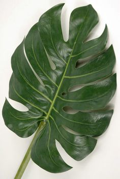 Natural look and feel of real tropical leaves to use for table decoration. Use one per table or several to encircle a tropical arrangements. These Monstera tropical leaves are long and wide. Lilac Flowers, Types Of Flowers, Exotic Flowers, Tree Leaves, Plant Leaves, Monstera Leaves, Tropical Leaves, Tropical Flowers, Impatiens Flowers