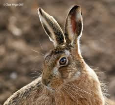 Image result for photographs of hares