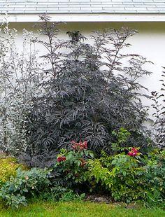 Black Lace Elderberry Picked On Up 10 2017 Shrub Sambucus Nigra