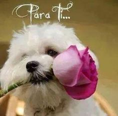If youre proud of your Maltese then tell the world!Proud Maltese Mama I Love Dogs, Puppy Love, Animals And Pets, Cute Animals, Animals Planet, Baby Animals, Maltese Dogs, Bichon Dog, Dog Rules