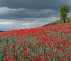 Poppies! hiking el Camino de Santiago ...ancient pilgrimage trail across northern Spain