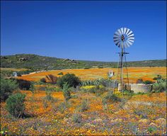 Wild flowers on a farm near Namaqualand, Northern Cape, South Africa Landscape Photos, Landscape Photography, Farm Windmill, South Afrika, Old Windmills, Out Of Africa, Le Moulin, African Safari, Beautiful Landscapes