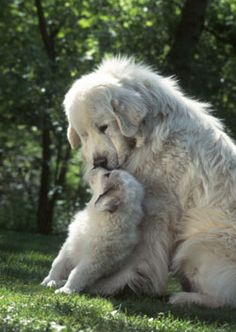 Must see Wolfbear Chubby Adorable Dog - b06b4a02bd90ff8781560dcc8547b773--great-pyrenees-puppy-white-dogs  Graphic_952099  .jpg