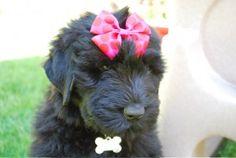 #Black #Russian #Terrier pretty princess Standard Schnauzer, Giant Schnauzer, Terrier Dog Breeds, Terriers, Black Russian Terrier, Big Puppies, Dogs 101, Samoyed, We Fall In Love