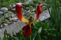 Tulip dying