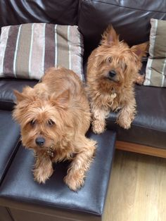 Alfie and Fraser, my Australian Terriers hogging the couch