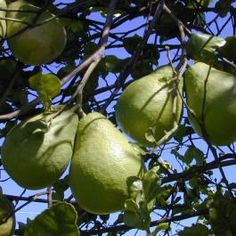 Citrus Maxima Seeds (Pomelo Tree Seeds)