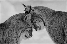 favourite animal, lynx.