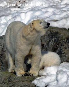 Jemina Staalon Veden vuosi 2: Jääkarhun pentua imetetään Ranualla Baby Polar Bears, Animals, Google, Animales, Animaux, Animal Memes, Animal, Polar Bear Cubs, Animais