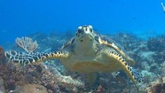I swam with a turtle just like this in Cozumel!  I'd love to take the girls snorkelling here!